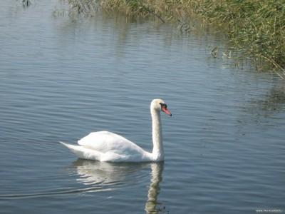 А белый лебедь на пруду...В Лиманном