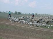 ромашковские овцы