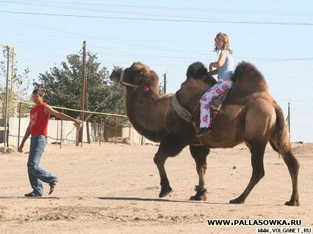 Памятник верблюдам-победителям будет изготовлен волгоградскими художниками