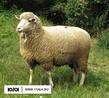 племенная овца